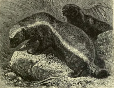 honey badger vs bear. images honey badger vs bear.