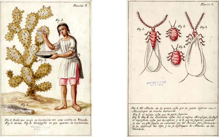 Resultado de imagen para grana cochinilla