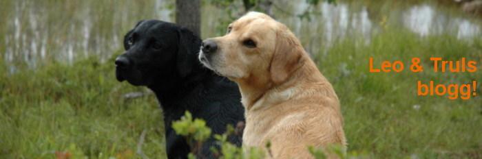 Labradorerna Leo & Truls!