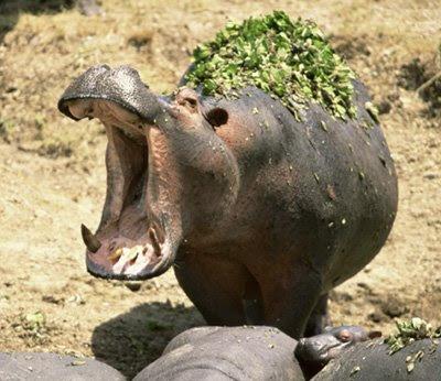 http://1.bp.blogspot.com/_LYrvuFXy8qs/SHSj4ylPKdI/AAAAAAAAANc/b3BuzSeEJHk/s400/Hippo.jpg