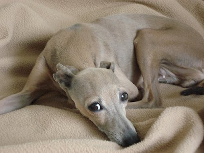 Italian Greyhound Puppies on Puppy Care Center  Piccolo Levriero Italiano Italian Greyhound Puppy