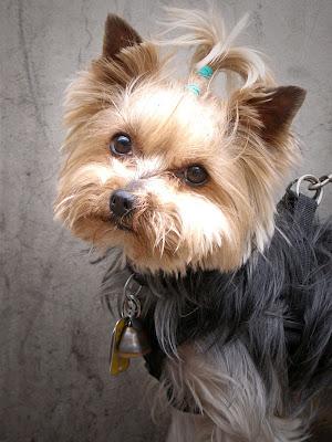 Short Hair Yorkie Puppies. Short hair inyorkie puppy