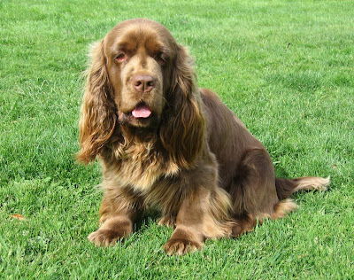 Funny Puppy Sussex Spaniel