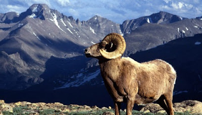 Big Horn Ram, Rocky Mountain National Park, Colorado