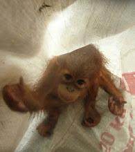 Hjälp till att rädda våra sista orangutanger