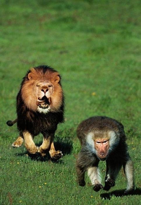 external image Lion%2Band%2BBaboon%2BKnuttz.jpg