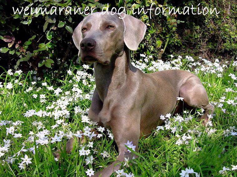 weimaraner dog information