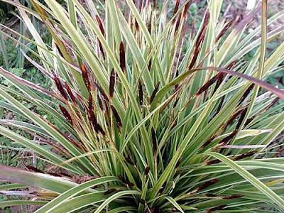 Hortist glory of ornamental grasses for Spiky ornamental grass