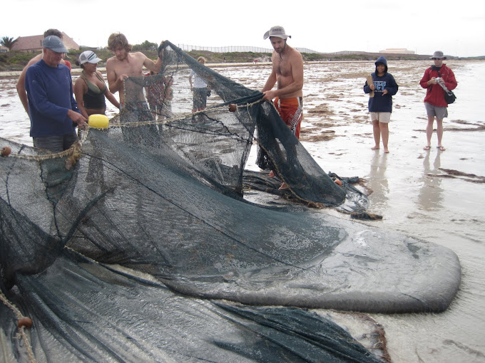 The trek net being pulled in from the bay