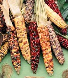 Mais geneticamente modificato (OGM)