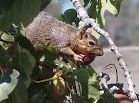 Fig-eating squirrel, photo by Brett Furnau