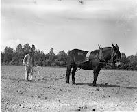 mule plowing