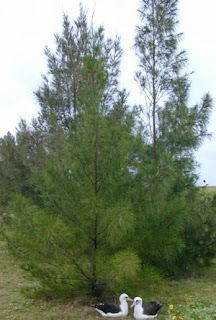 Australian pine; photo by Forest & Kim Starr, US Geological Survey, HI