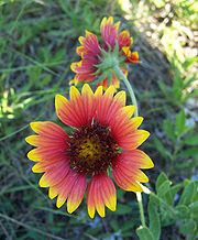 Firewheel Indian Blanket