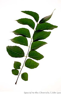 Curry Leaves good for health, oriental herbal remedy of magical green leaf