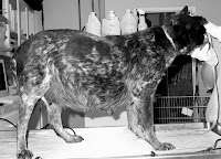 congestive heart failure in dogs a dog with heartworm