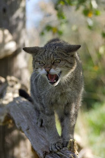 Hissing Sound Cat Makes