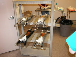 Feral cats under anesthetic for tnr