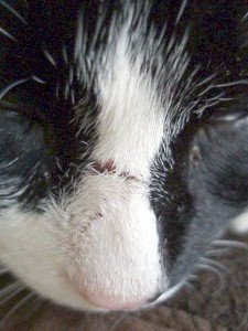 Feral cat damaged nose