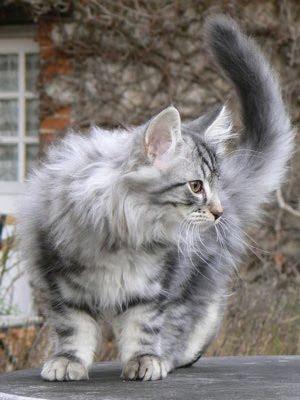 Norwegian Forest Cat: ...