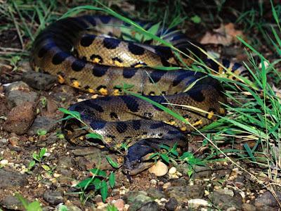 Dark Spotted Anaconda Dark Spotted Anaconda Pics