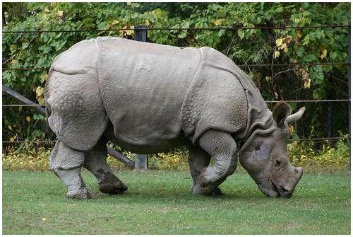 external image Javan-Rhino.jpg