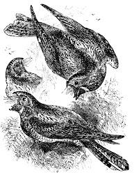 Whippoorwills