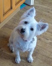 Skye - Our Westie :)