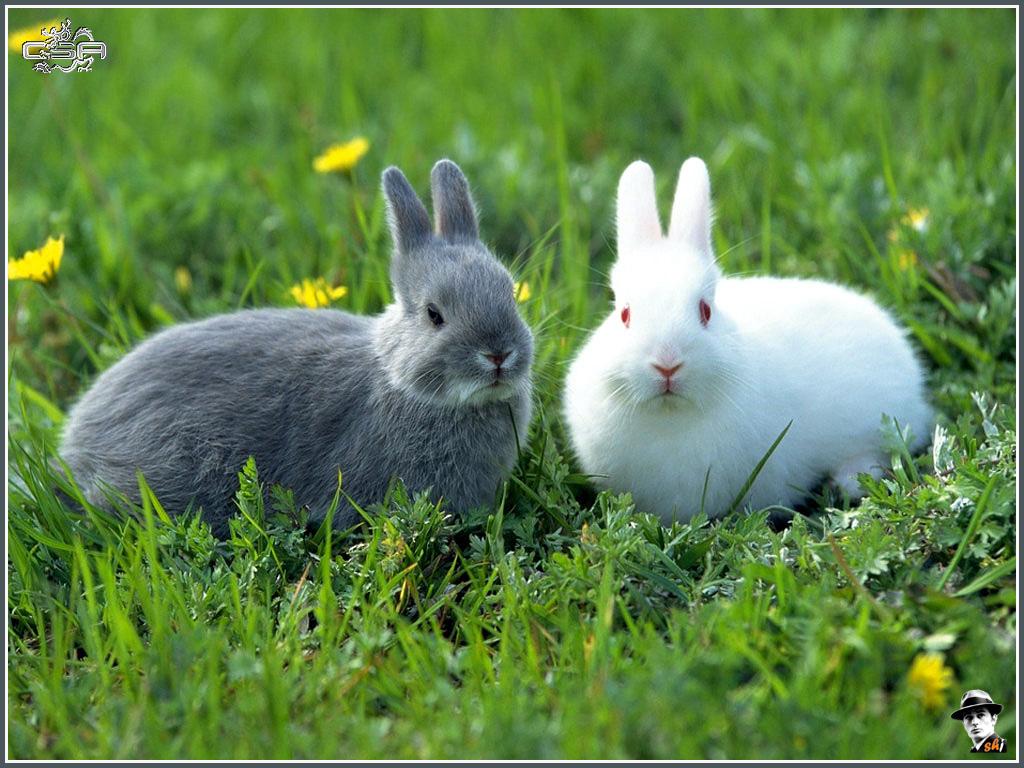 White Bunny Rabbit