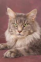 pedigree_Maine_Coon_Budletts_Prince