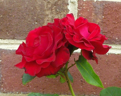 These 2 red roses are up against the brick on our house.
