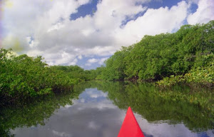 Calm river in the mangroves