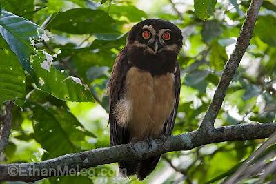 Spectacled_Owl_EMELEG_2431.jpg