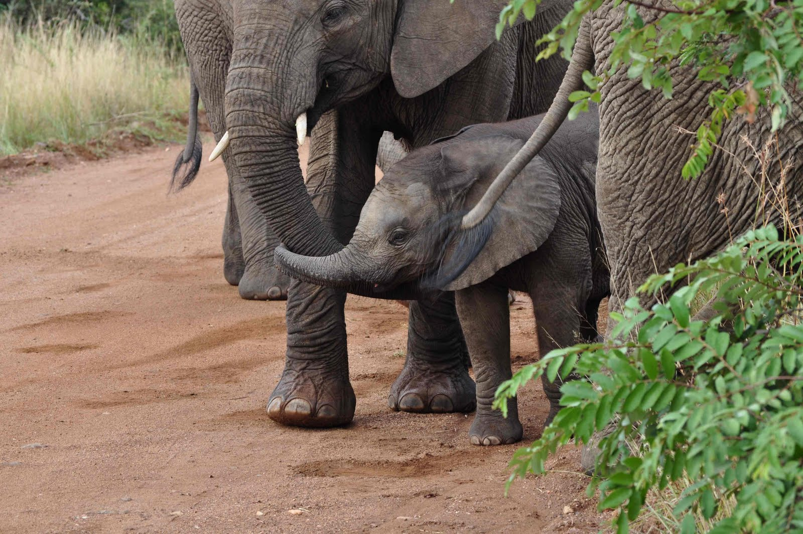 Baby Elephant And Mother Holding Trunks