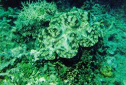 Terumbu karang Karimunjawa (Wisata Jepara)