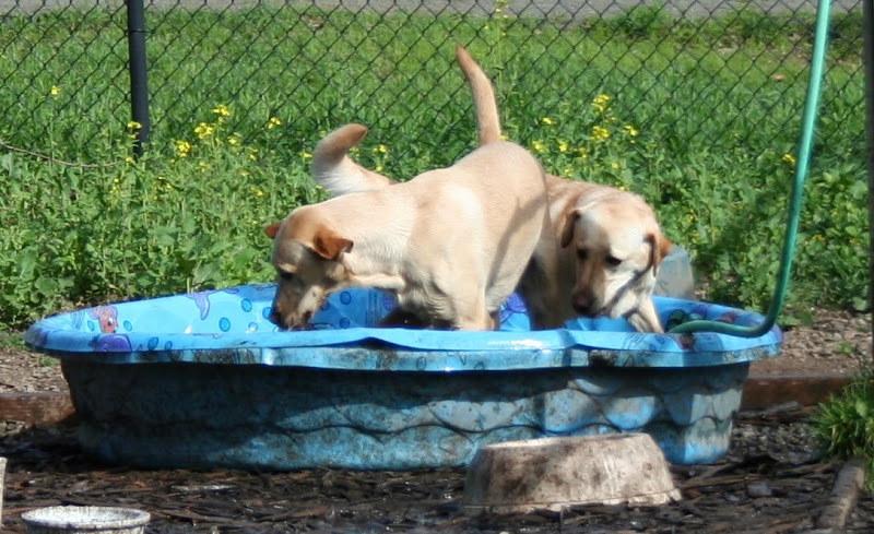 two yellow labs dashing around in blue wading pool