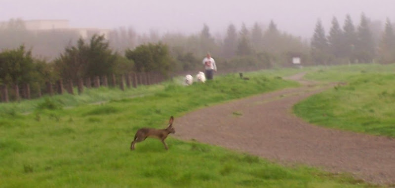 an extremely large jackrabbit with ears up in mid-bound, crossing the path; in the distance you can see a man walking with two fluffy white samoyeds approaching our way