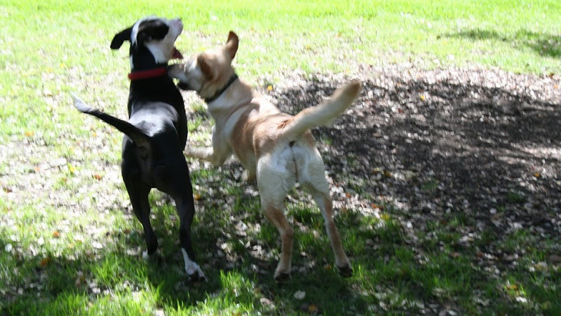 cabana and a black and white pit bull, photo taken from the back, their tails are up, mouths open, cabana has her face up to pit bull's neck, the photo is quite blurry
