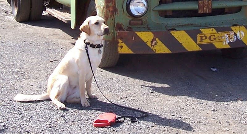 closeup shot of cabana in front of the rusted truck, she is in a sitting position but her legs are both way over to one side, so she's only sitting on one haunch, the attached red flexi leash is on the ground in front of her
