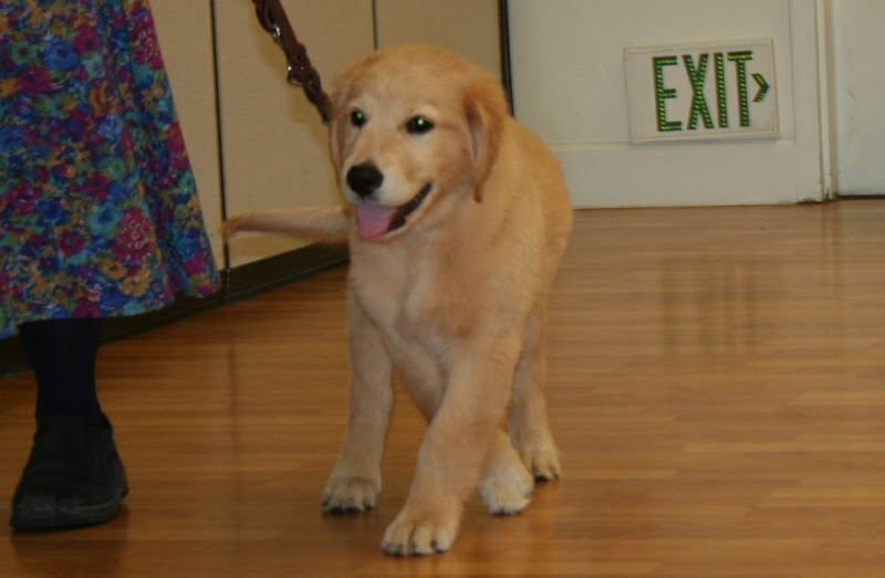 montego walking with a puppy raiser at our puppy group meeting, montego has a fluffy golden coat and huge paws, dark black eyes and a happy tongue-lolling smile