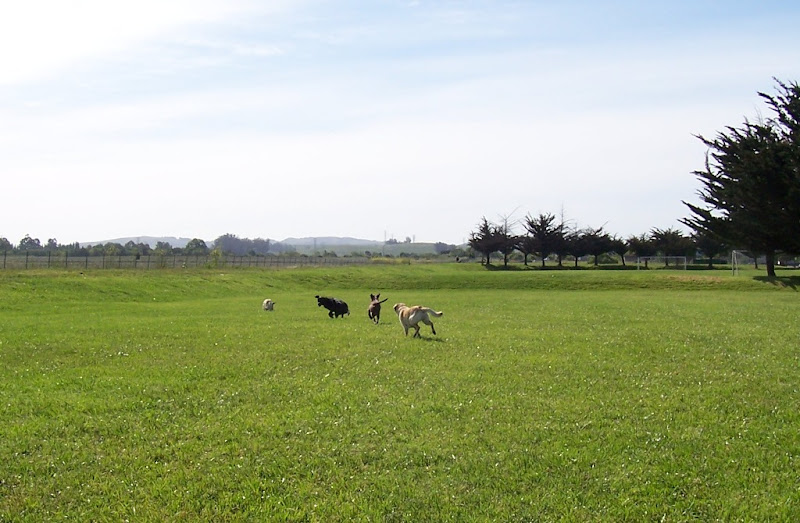 four labs running away from camera in the distance in big grassy field, cabana is a bit behind the rest of them