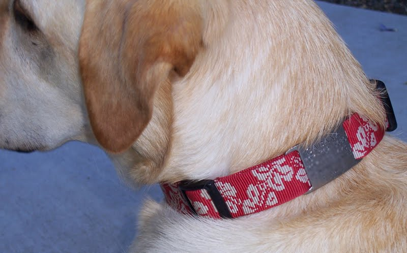 closeup of the back of cabana's head, so you can see her red hawaiian collar, with silver tag affixed to it