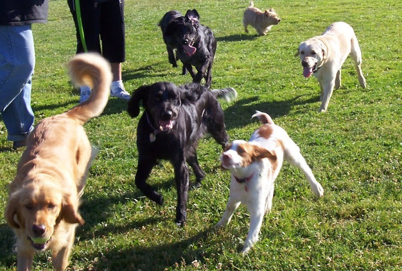 seven dogs running in the direction of the camera, the pack includes 3 blue picardies, a golden, a westie, a spaniel puppy, and cabana