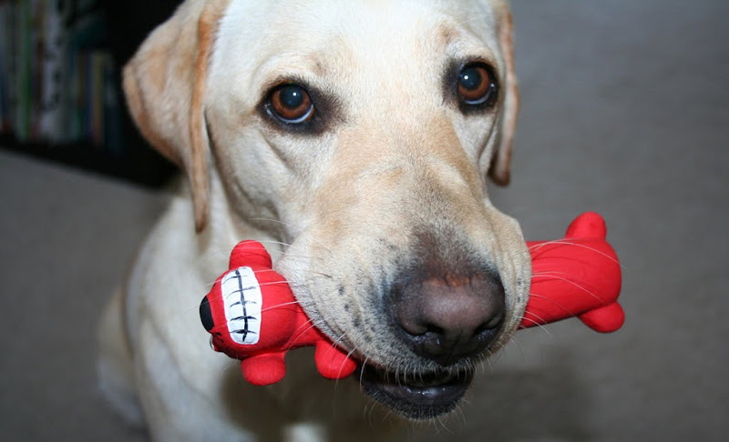 hilarious close up of cabana with a skinny red dog toy in her mouth, the toy is about 6 inches long with head at one end and a large toothy smile on its face
