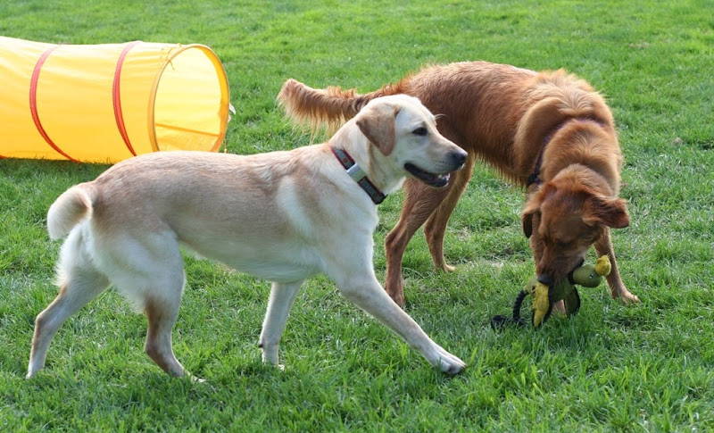 yellow agility tunnel in background with golden retriever Sierra Rose standing next to cabana with a stuffed duck toy in her mouth