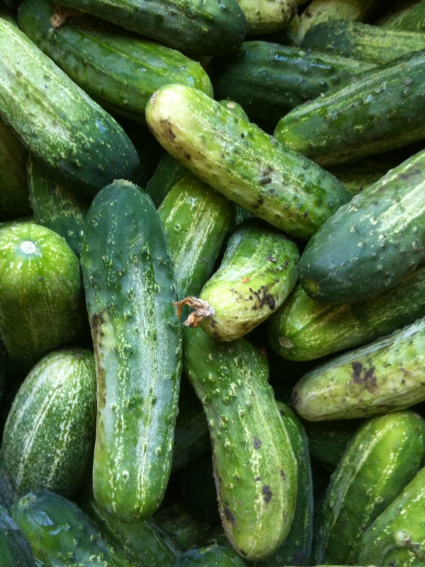 ... Cucumbers. See Shelley's recipe below for how to pickle them