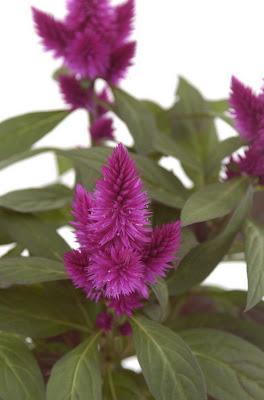 Pianta da interno fiorista mariangela blog for Pianta fiori viola