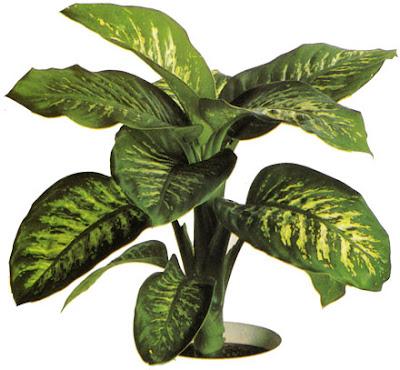 Fiorista mariangela dieffenbachia for Piante verdi da appartamento facili da tenere