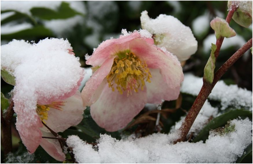 La rosa di natale o elleboro for Elleboro bianco