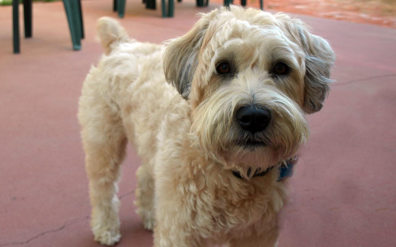Wheaton Dog Breed